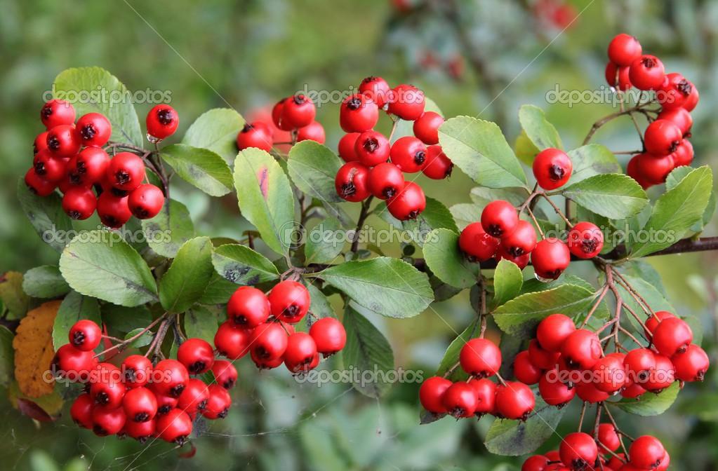 Arbusto de frutos rojos frutos rojos de arbusto for Arbol de frutos rojos pequenos