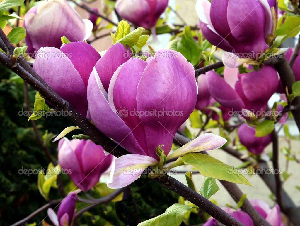 Pink Flowers Of Magnolia Tree At Spring Stock Photo Manka 46077221