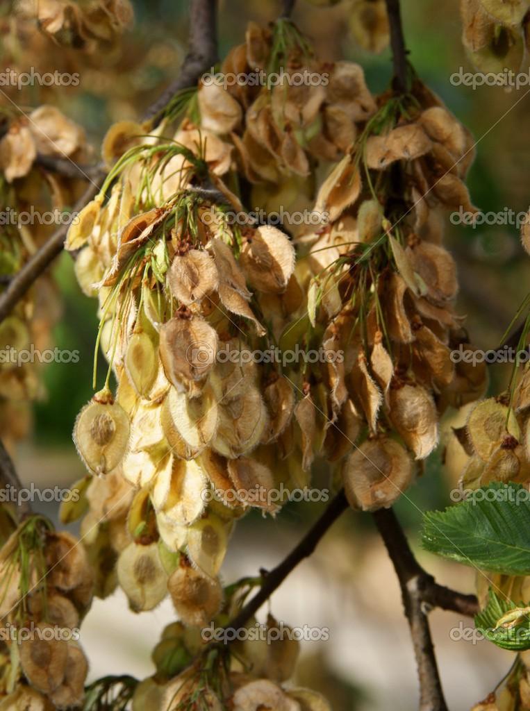 Escala femenina madura con semillas