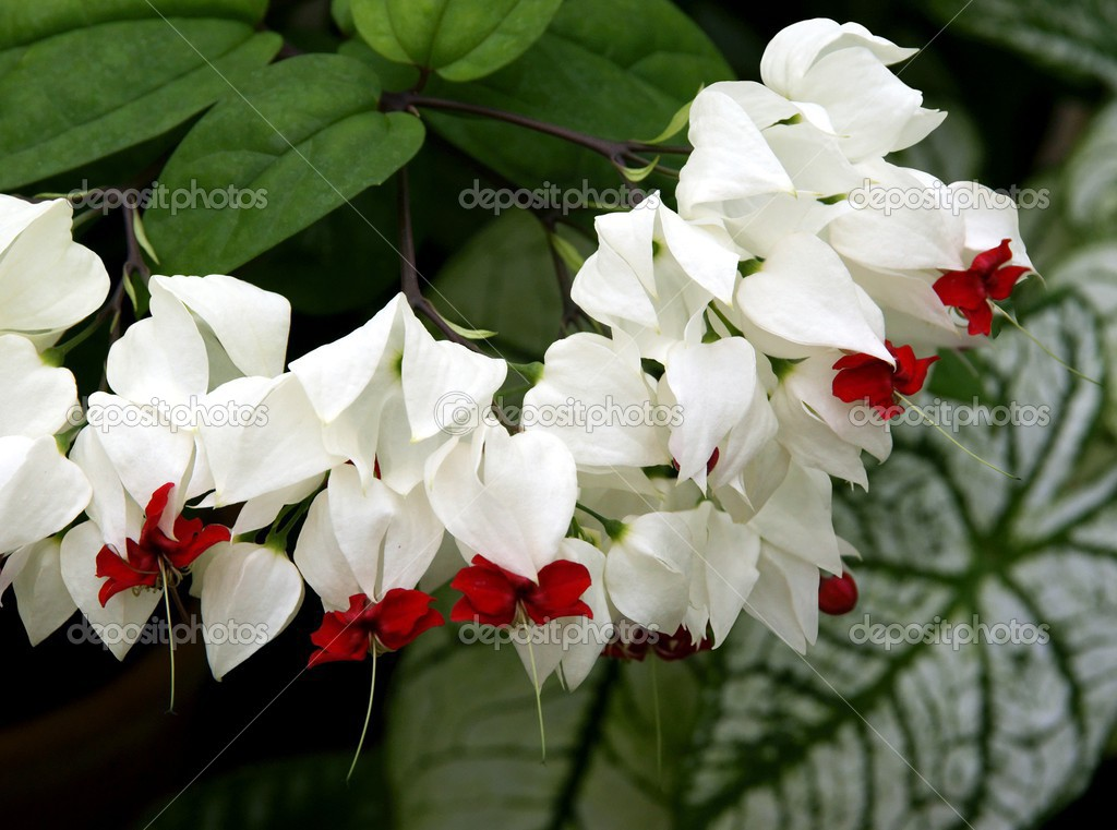 Pianta Rampicante Con Fiori Bianchi.White And Red Flowers Of Tropical Plant Clerodendrum Thomsoniae