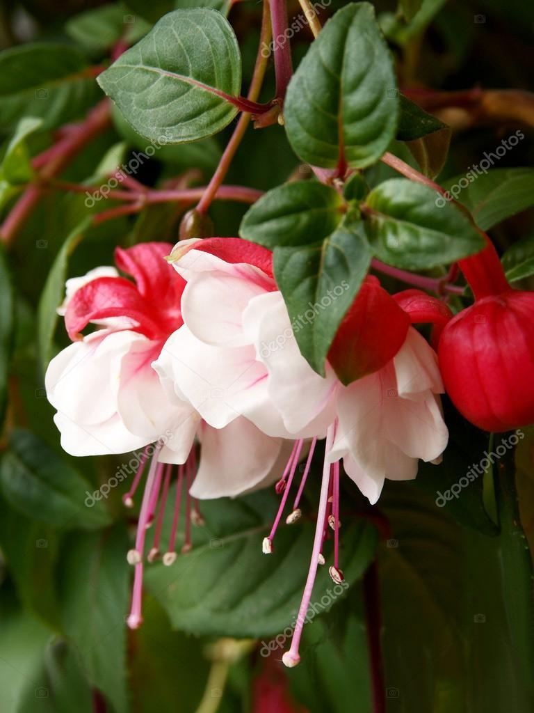 fiori rossi e bianchi della pianta fucsia foto stock