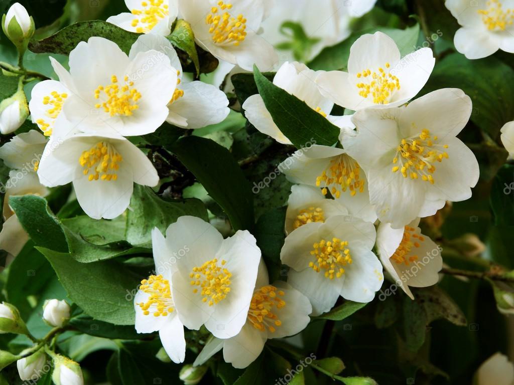 Jasmine bush with whitefragrant flowers stock photo manka 51015613 jasmine bush with whitefragrant flowers stock photo mightylinksfo