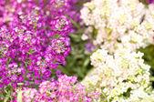 Fényképek Lila és fehér virágok háttér