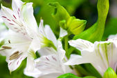 Photo Spring lily flowers