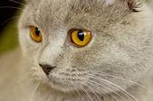 Photo Britannic cat