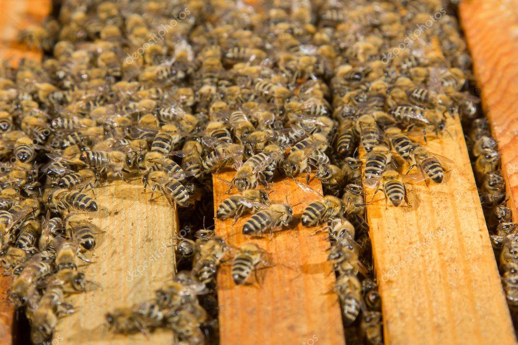 Pszczoła Ula Zdjęcie Stockowe Smoxx 41825225