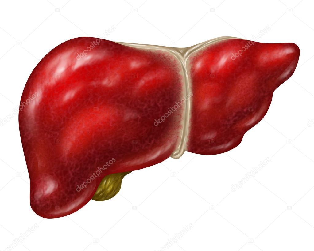 hígado humano — Fotos de Stock © lightsource #46601637