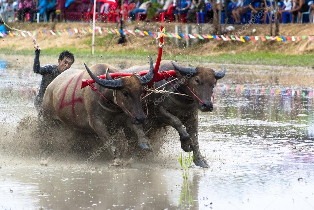 Buffaloes racing on Jul 01, 2012 in Chonburi, Thailand.The event is normally held before the rice planting season and marks the importance of buffaloes.