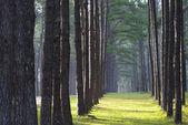 Fotografie borový les