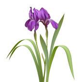 Fotografia fiori di iris viola
