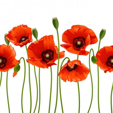 Red poppies in a row. Isolated on white background. Vector illustration clip art vector