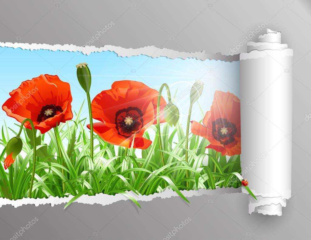 Red poppies in grass with ripped paper ., vector
