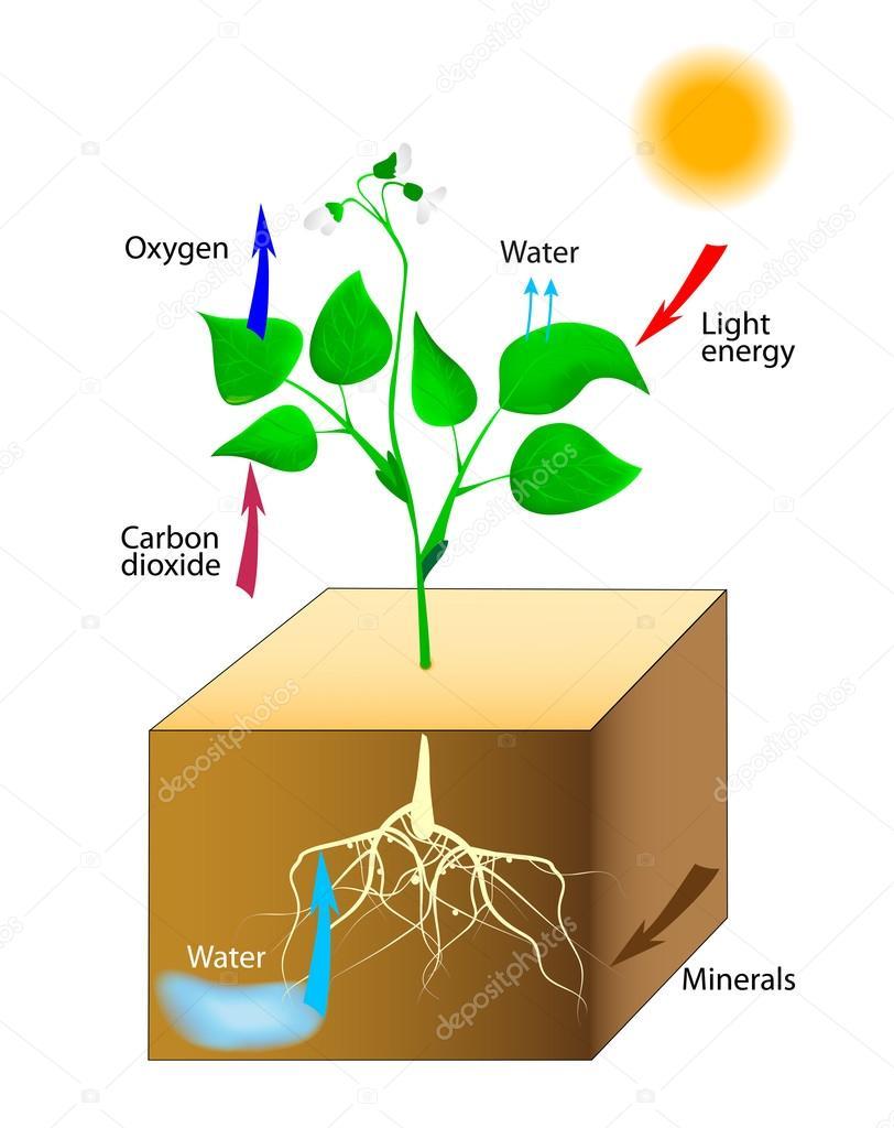 Schematische Darstellung der Photosynthese in Pflanzen — Stockvektor ...