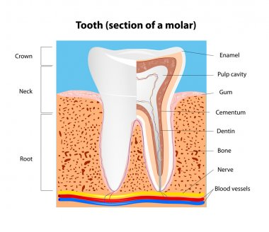 Human Tooth structure. Vector