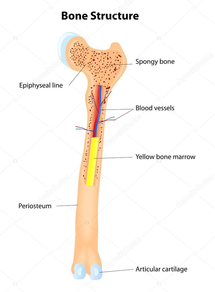 estructura ósea. esquema de Vector — Archivo Imágenes Vectoriales ...