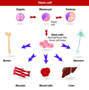 Pluripotent, embryonic stem cells originate as inner cell mass cells within a blastocyst. These stem cells can become any tissue in the body, excluding a placenta. stock vector