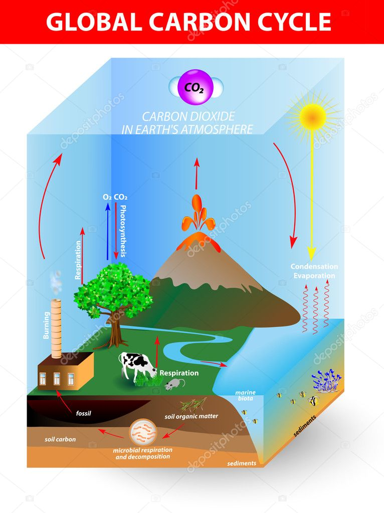Carbon cycle vector diagram stock vector edesignua 24883763 carbon cycle vector diagra vector by edesignua ccuart Choice Image