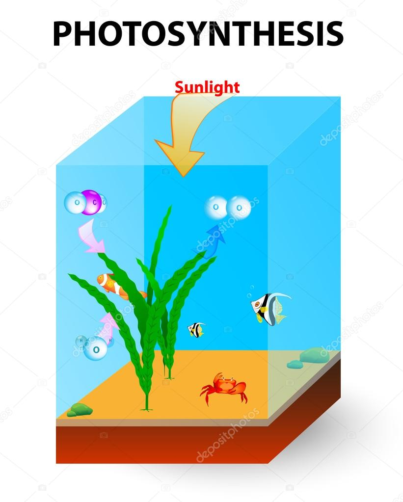 process of photosynthesis in algae