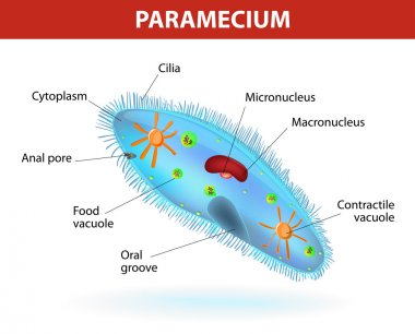 Structure of a paramecium