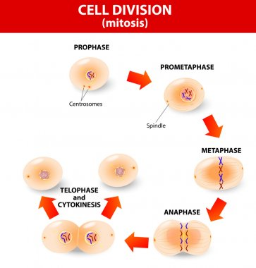Mitosis. process cell division