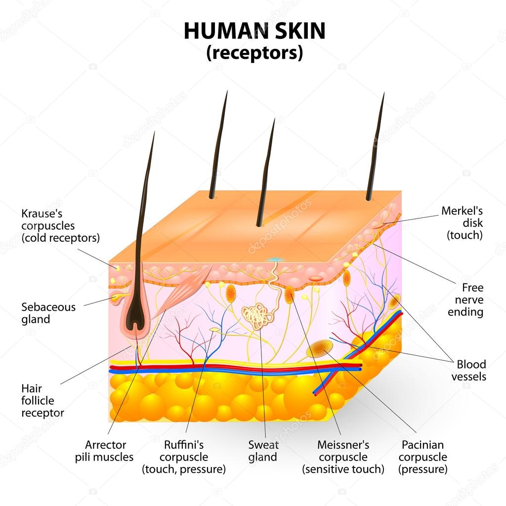 Human skin layer vector cross section stock vector edesignua cross section human skin the skin a sensory organ with a dense network of nerves pressure vibration temperature pain and itching are transmitted via pooptronica Image collections