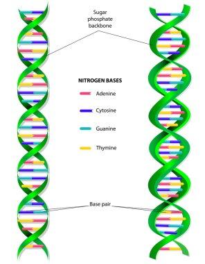 DNA molecule vector diagram