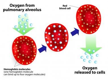 Hemoglobin and respiratory. Vector diagram