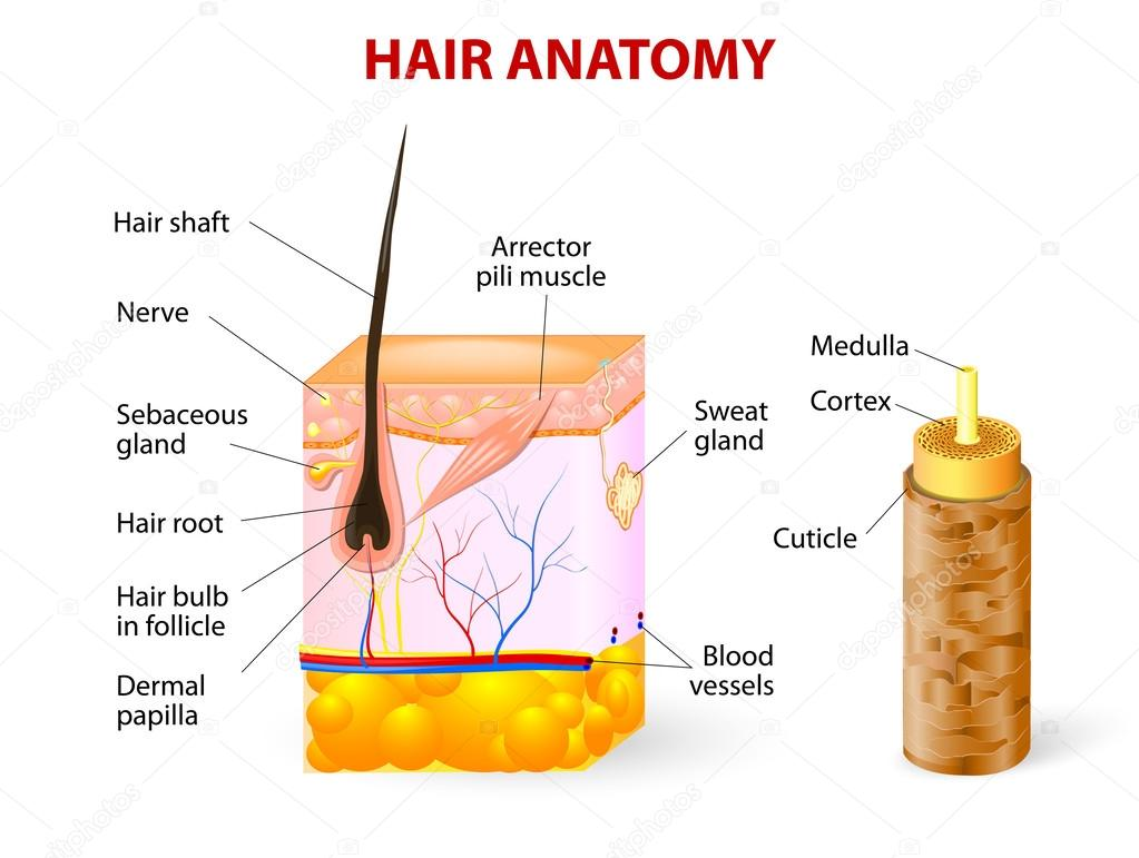 Diagram of a hair follicle in a cross section of skin layers — Stock ...