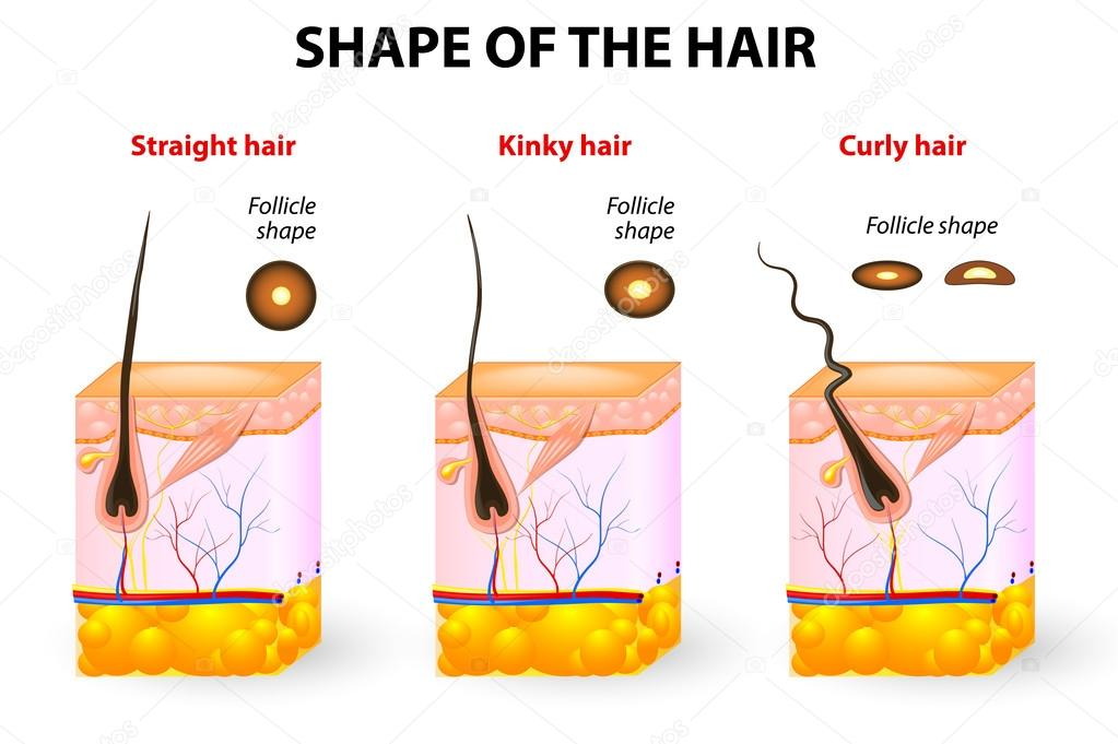 Shape Of The Hair And Hair Anatomy Stock Vector Edesignua 34966615
