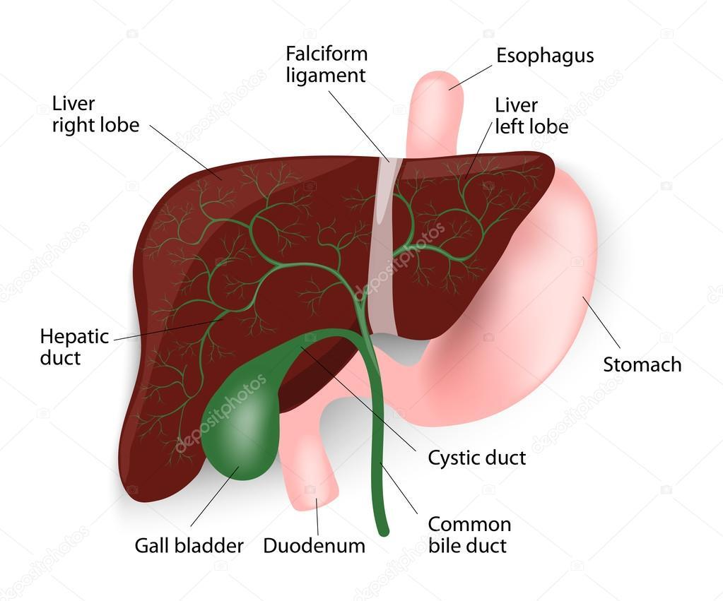 hígado, vesícula biliar, esófago, estómago y duodeno — Vector de ...