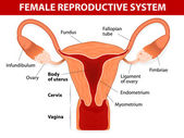 Fotografia sistema riproduttivo femminile
