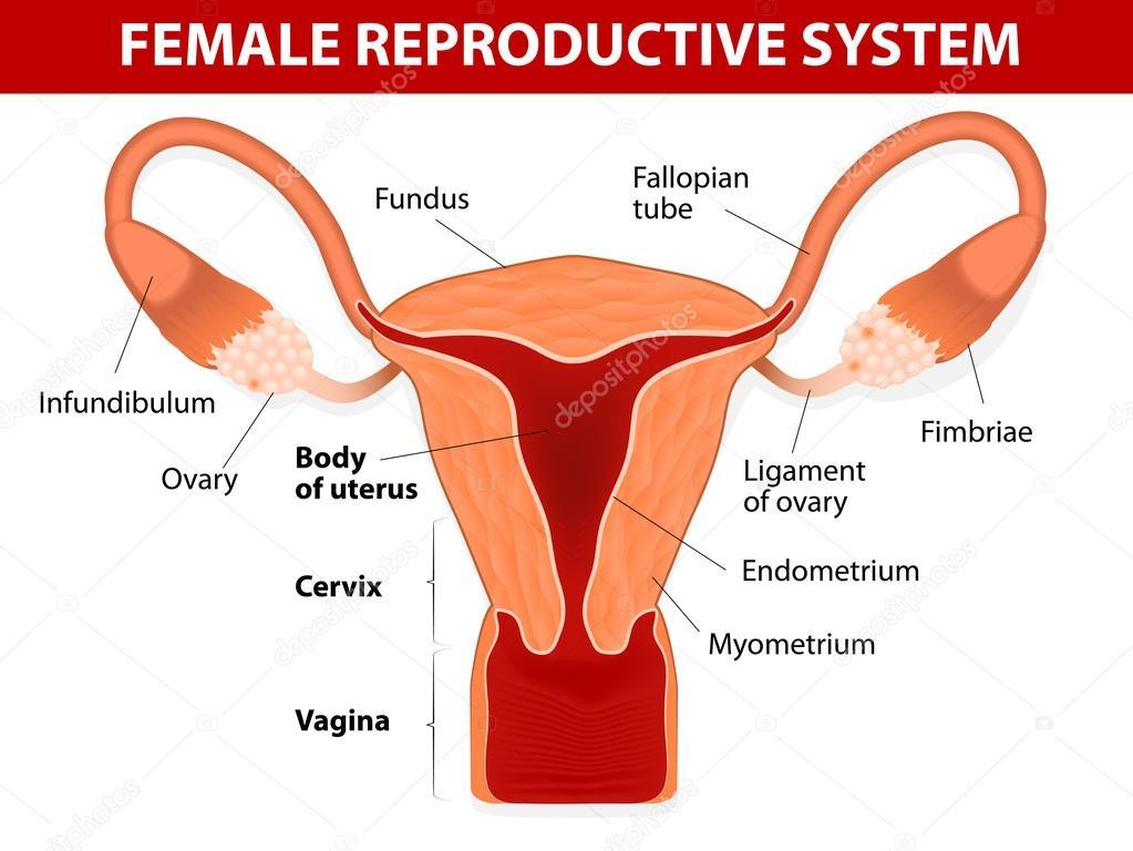 weibliche Fortpflanzungssystem — Stockvektor © edesignua #36935867