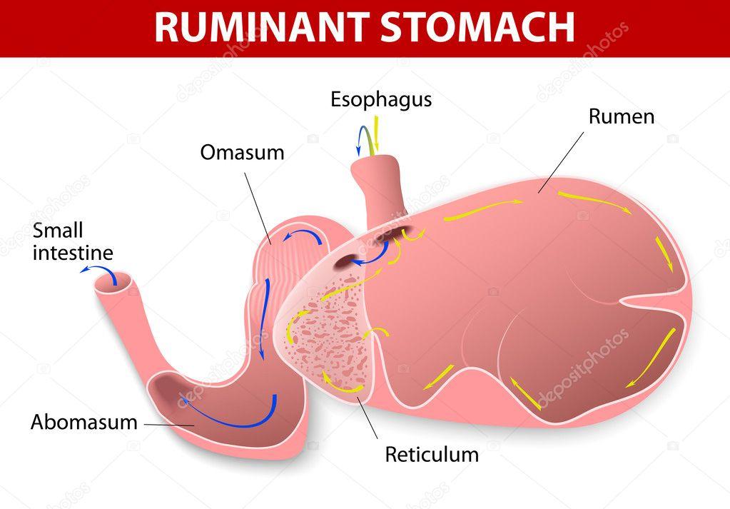 estómago de rumiante — Vector de stock © edesignua #37549473