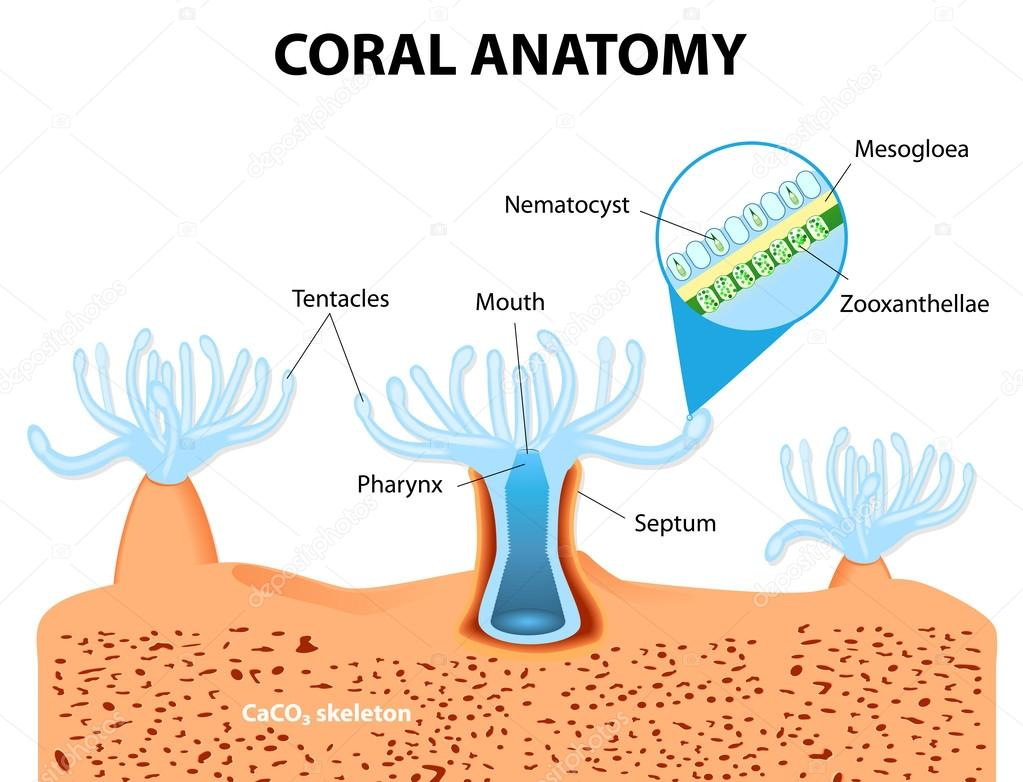 Anatomía coral. diagrama del vector — Archivo Imágenes Vectoriales ...