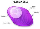 Struktura plazmatické buňky
