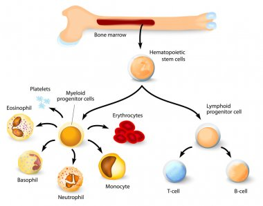 Hematopoietic stem cell