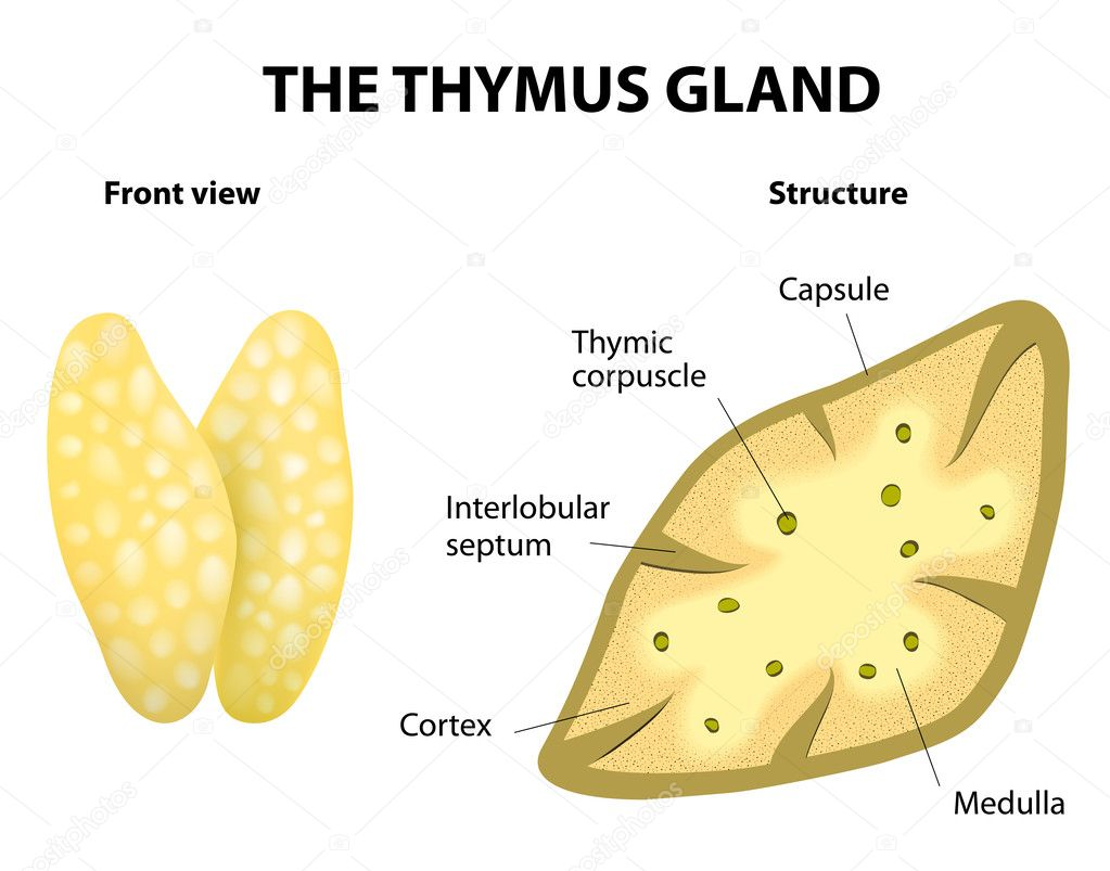 Thymus Gland Anatomy Stock Vector Edesignua 44268637