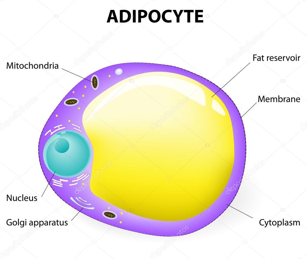 estructura del adipocito. célula gorda — Archivo Imágenes ...