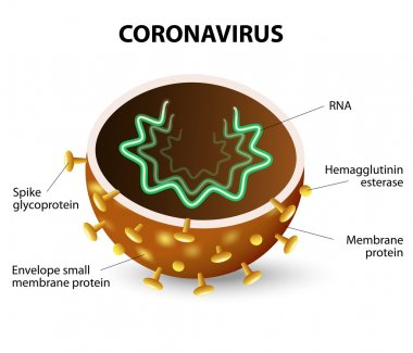 Inside of a Corona Virus. Corona Virus is a strain of virus that causes a of illness in Humans, from the common cold to SARS. stock vector