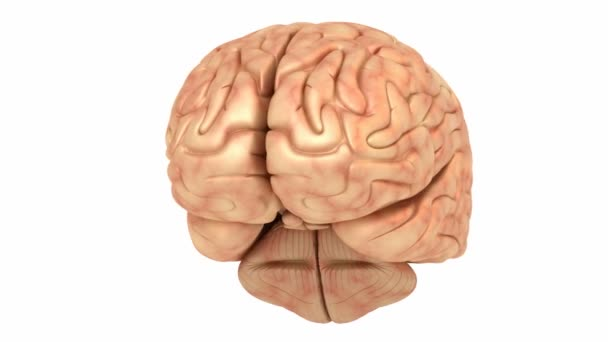 lidský mozek model, rotace smyčka
