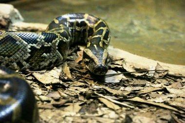 Anaconda in close