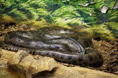 Anaconda snake coiled