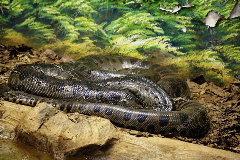Cobra anaconda enrolada fotografias de stock joelfotos for Las mejores alfombras de donde son