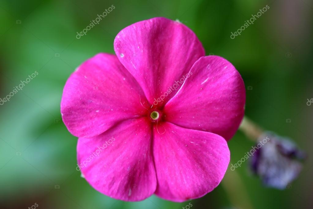 Good Night Rose Flower Stock Photo Joelfotos 38363327
