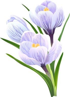 Flowers crocuses. Vector illustration.