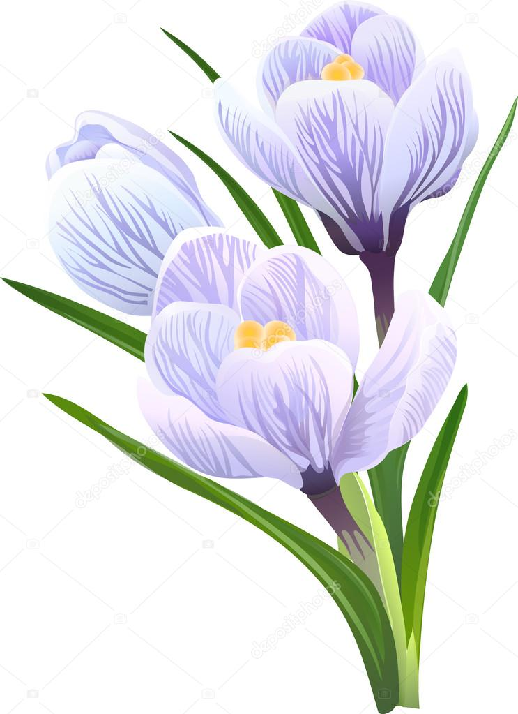 Flowers crocuses. Vector illustration.
