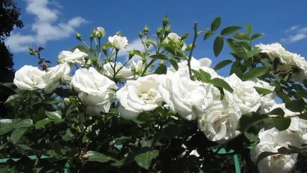 Květiny bílé růže