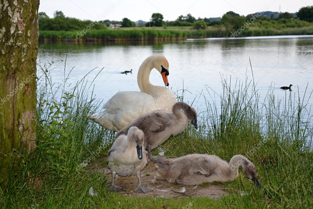 white mute Swan with babies