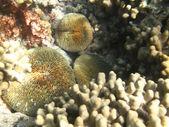 Fotografie harte Korallen marine Leben im Indischen Ozean-Malediven