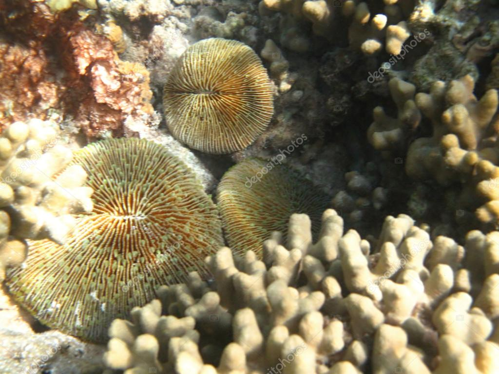 Hard sea corals marine life in Indian ocean Maledives